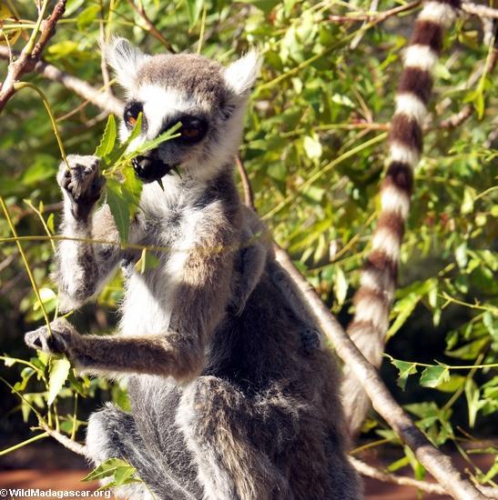Ringtailed lemur (Lemur catta) eating leaves (Berenty)