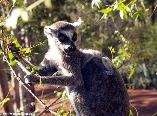 Lemur catta eating leaves (Berenty)