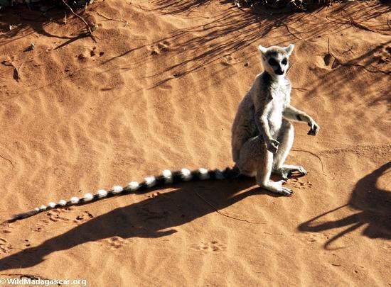Ringtailed lemur (Lemur catta) sunbathing(Berenty)