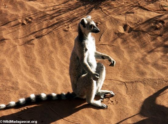 Ringtailed lemur sunbathing(Berenty)