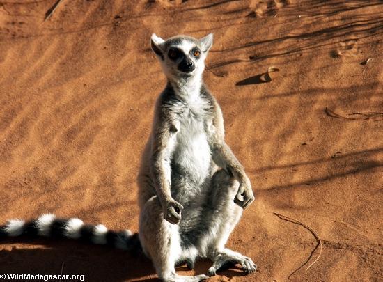 Lemur catta sunbathing(Berenty)