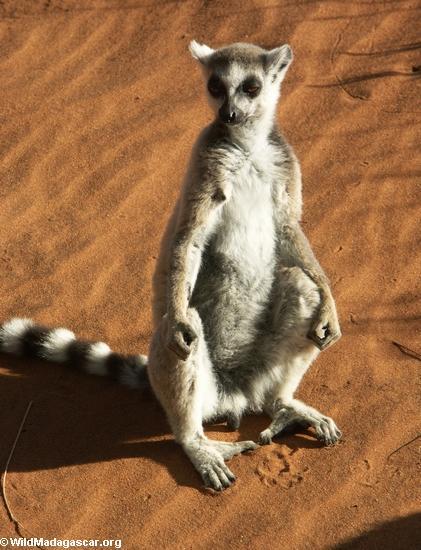 Ringtailed lemur taking in the sun (Berenty)