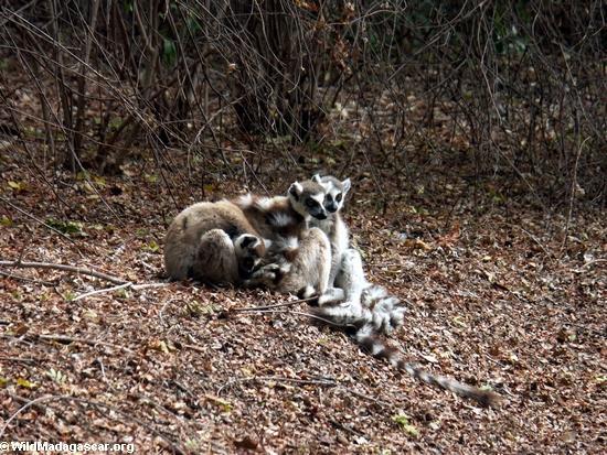 Ring-tailed lemurs huddling together for warmth (Berenty)