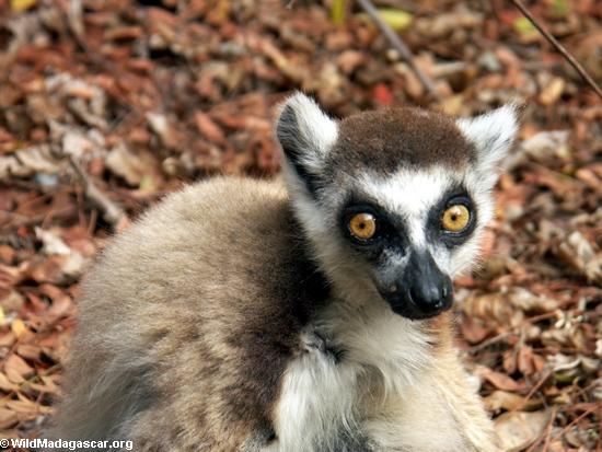 Beady-eyed ringtailed lemur (Berenty)