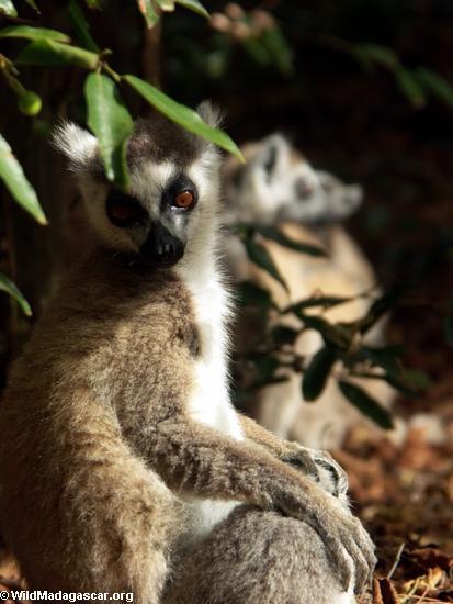 Ringtail lemur in gallery forest(Berenty)