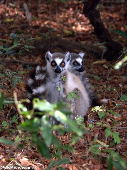 Pair of ringtail lemurs (Berenty)