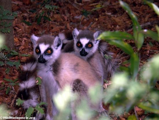 Pair of ringtailed lemurs (Berenty)