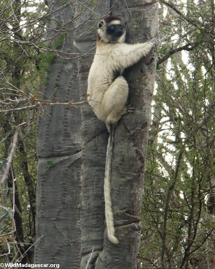 Tree-hugging sifaka lemur (Berenty)