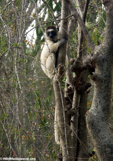 Tree-hugging  lemur (Berenty)
