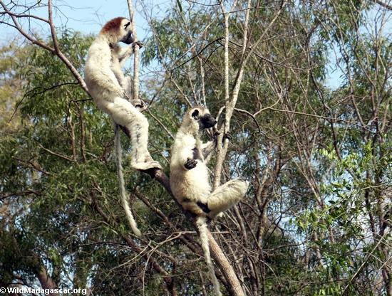 Meditating sifaka lemurs (Berenty)