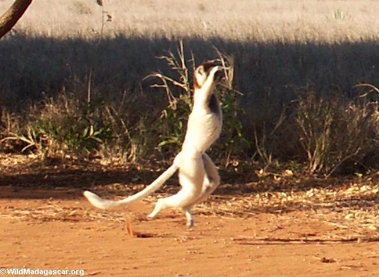 Dancing Verreaux sifaka(Berenty)