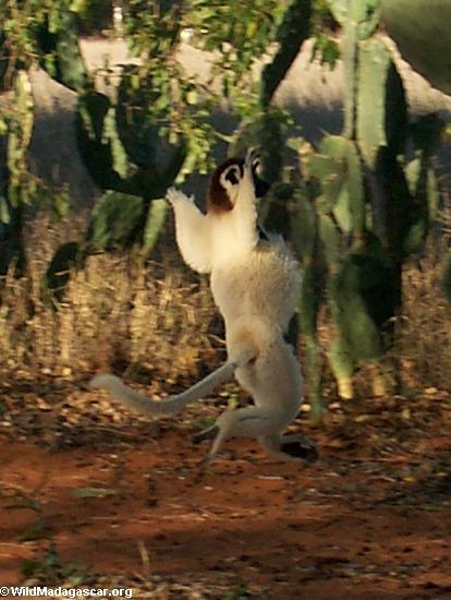 Leaping lemur(Berenty)