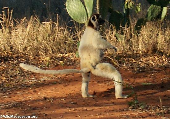 Sashaying Verreaux's sifaka lemur (Berenty)