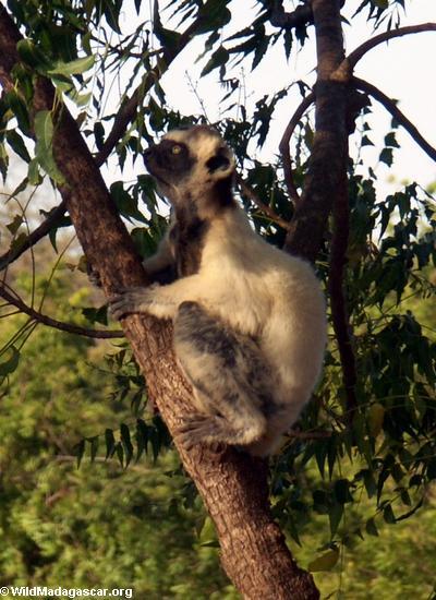 Verreaux's Sifaka (Propithecus verreauxi verreauxi) in tree(Berenty)