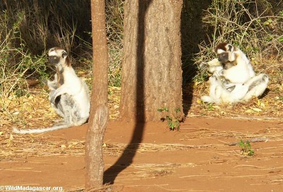 Sifaka lemurs on ground(Berenty)