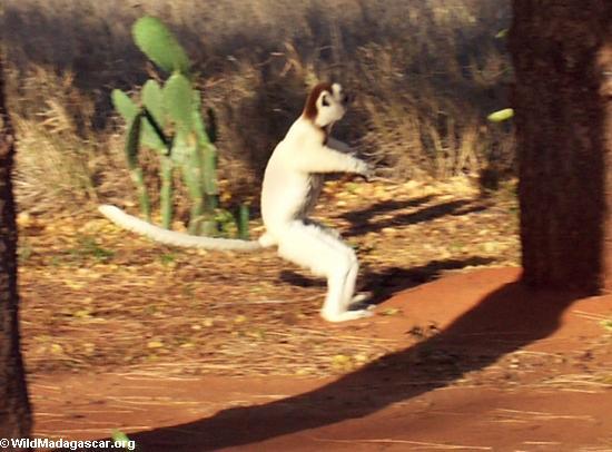 Squatting sifaka lemur (Berenty)