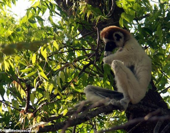 Sifaka lemur in