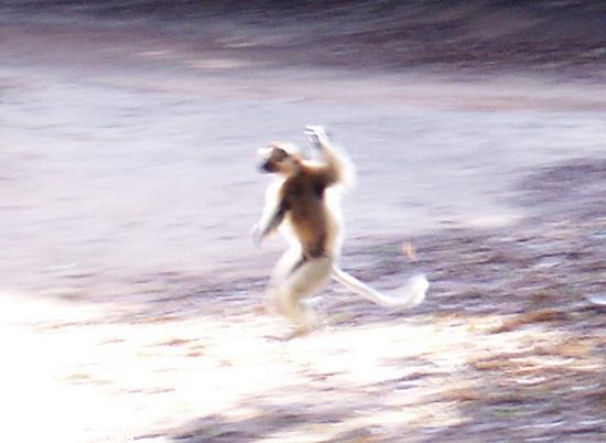 Dancing sifaka lemur(Berenty)