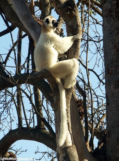Sifaka hugging tree (Berenty)