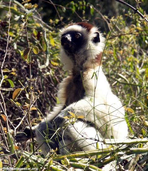 Meditating sifaka lemur(Berenty)