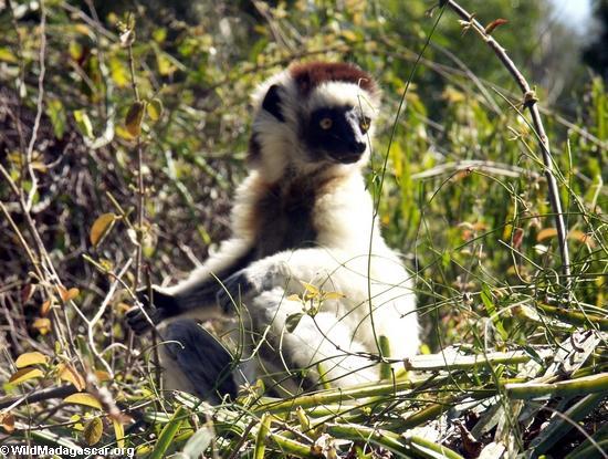 Relaxing sifaka lemur (Berenty)