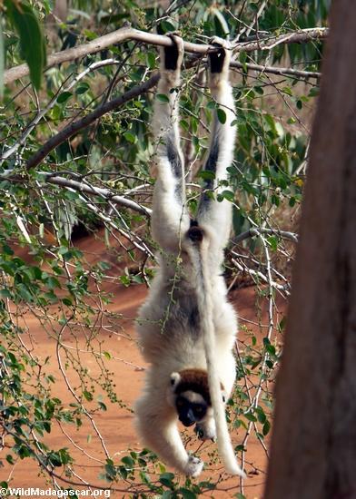 Upside-down sifaka lemur
