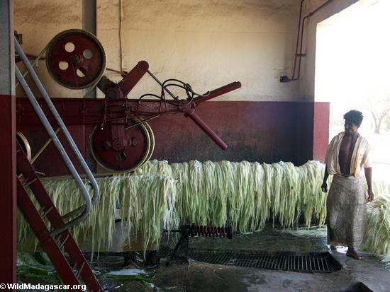 Wet sisal fibers (Berenty)