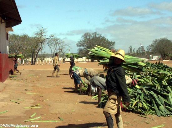Andranobory sisal workers (Berenty) [sisal0158]