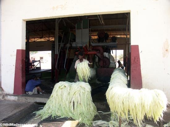 Andranobory sisal workers (Berenty) [sisal0161]