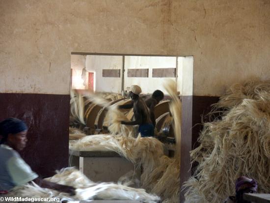 Dried sisal fiber (Berenty)
