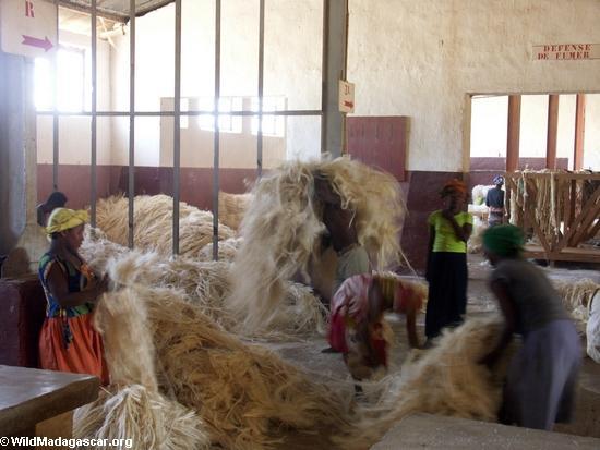 Dry sisal fiber (Berenty)