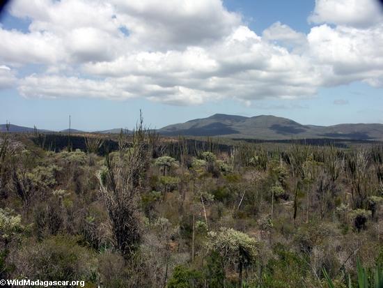 Spiny desert flora in southern Madagascar (Berenty)
