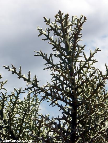 Didiereaceae southern Madagascar (Berenty)