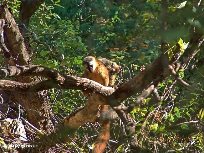 Brown lemur isalo (Brown lemur isalo)