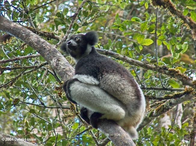 Indri Perinet  (Indri Perinet)