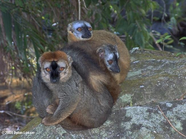 Isalo brown lemurs  (Isalo brown lemurs)