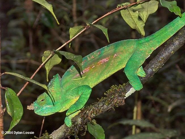 Parson's Chameleon Perinet  (Parson's Chameleon Perinet)