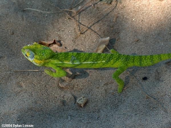 Tsiribihina River Chameleon (Tsiribihina River Chameleon)