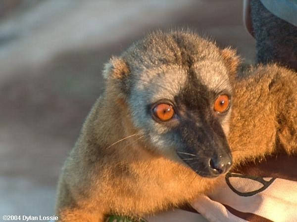 Tsiribihina River Lemur (Tsiribihina River Lemur)