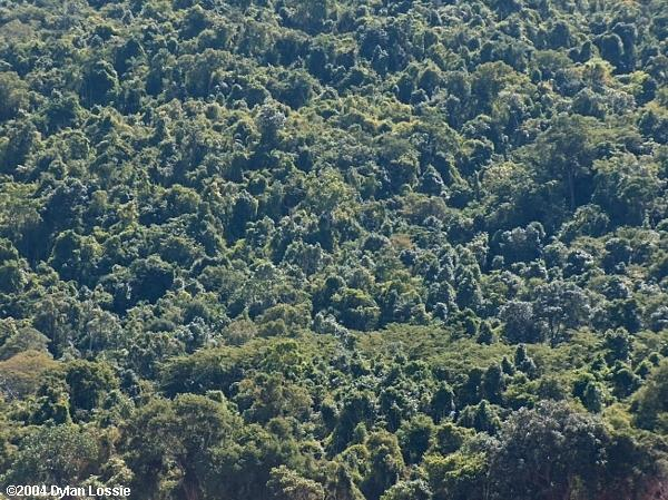 Tsiribihina River forest (Tsiribihina River forest)