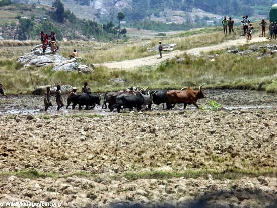 Zebu cattle plowing rice paddies near Antoetra (Ifasina / Antoetra)