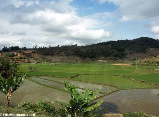 Rice paddies near Tana (RN7)