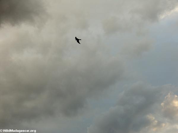 Madagascar Kestrel in flight above Isalo(Isalo)
