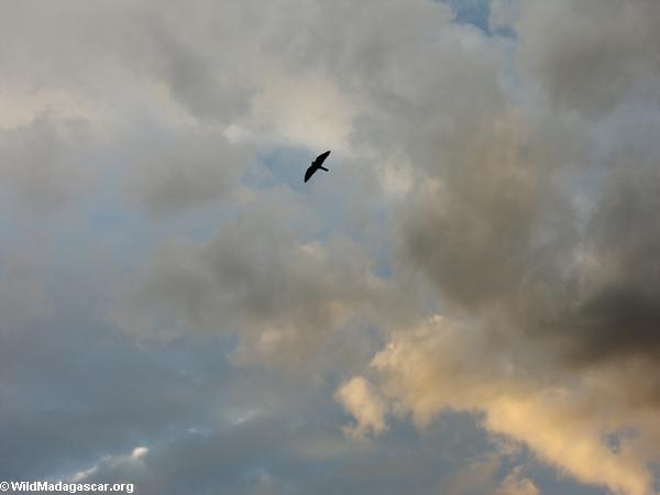 Madagascar Kestrel in flight above Isalo (Isalo) [1018-0074]