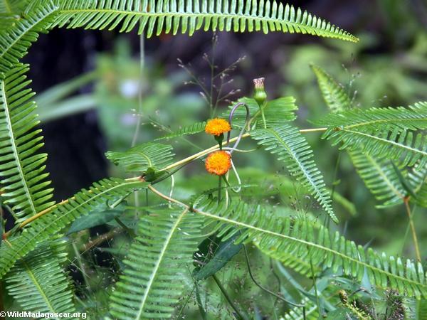 Orange flowers (Isalo)