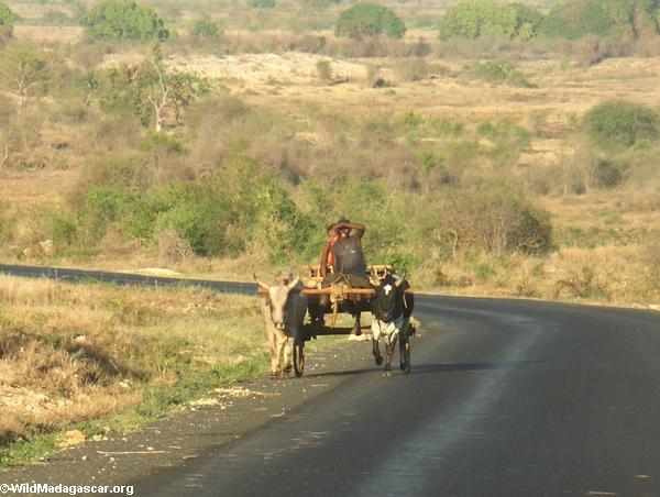 Zebu cart on road from Isalo (Isalo)