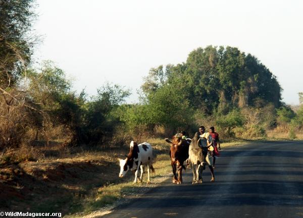 Zebu cart on road from Isalo (Isalo) [isalo-tulear0136]
