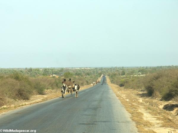 Zebu cart on road from Isalo (Isalo) [isalo-tulear0145]