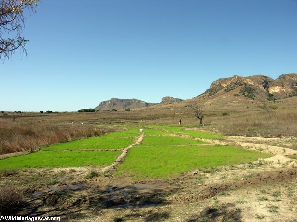 Rice paddy in Isalo(Isalo)