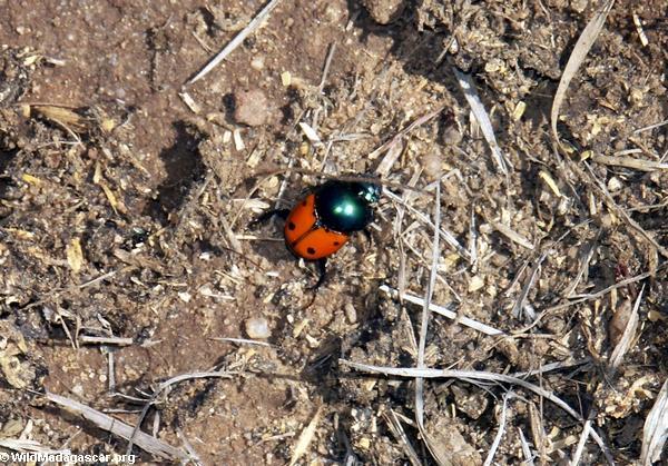 Dung beetle (Isalo)